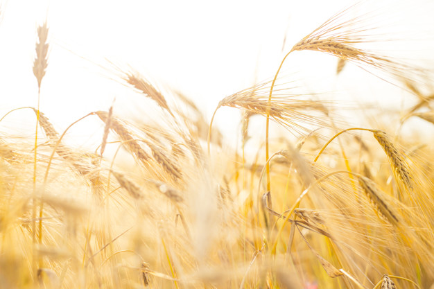Wheat close-up.